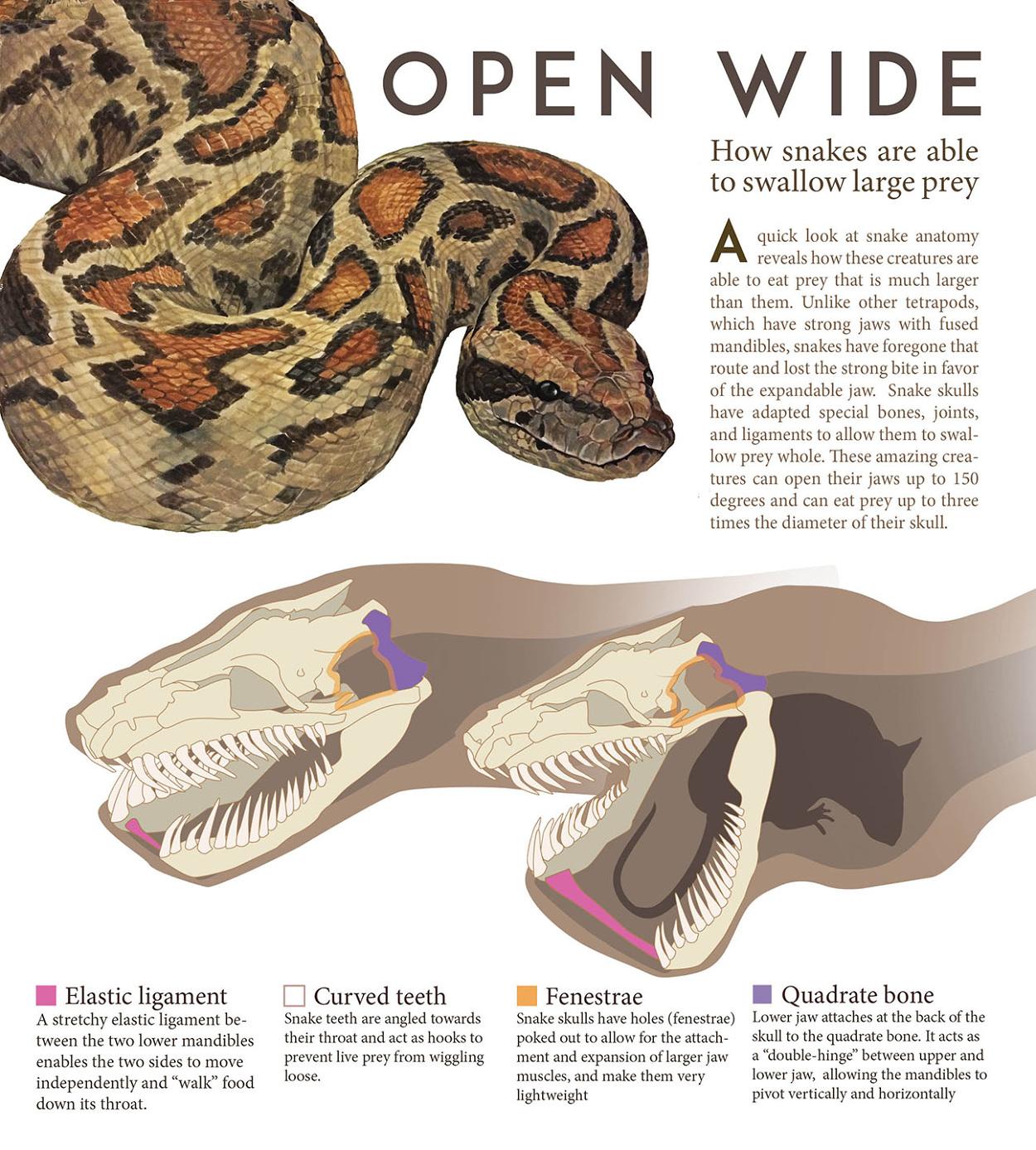 Open Wide Snake Diagram Lindsey Kernodle Artwork