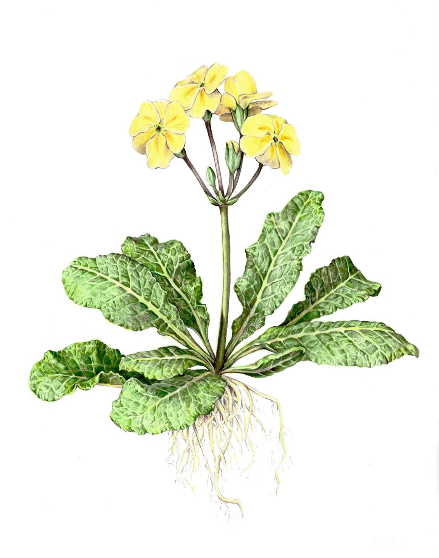 Primrose Botanical Illustration - Lindsey Kernodle Artwork
